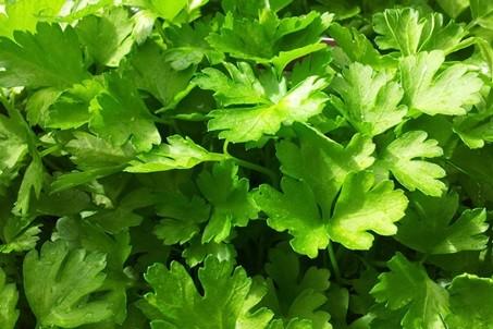 зеленые листья петрушки