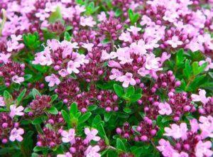 цветки тимьяна