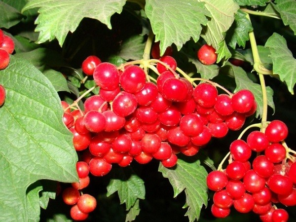 ягоды калины красной
