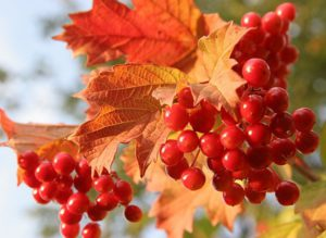 плоды калины красной