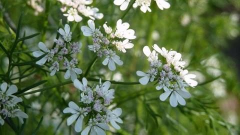 цветки кориандра