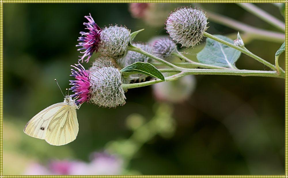 цветущий лопух