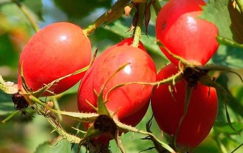 плод шиповника ягода