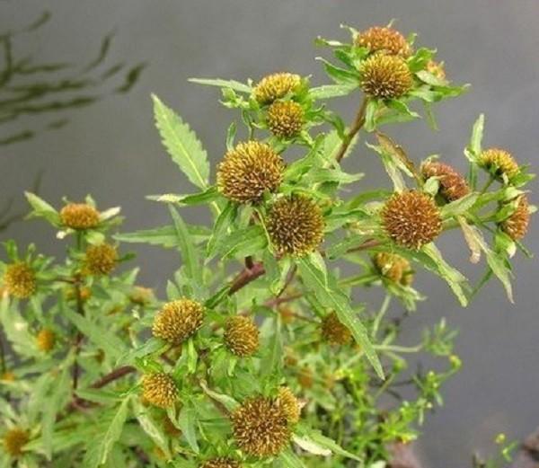 растение череда трехраздельная