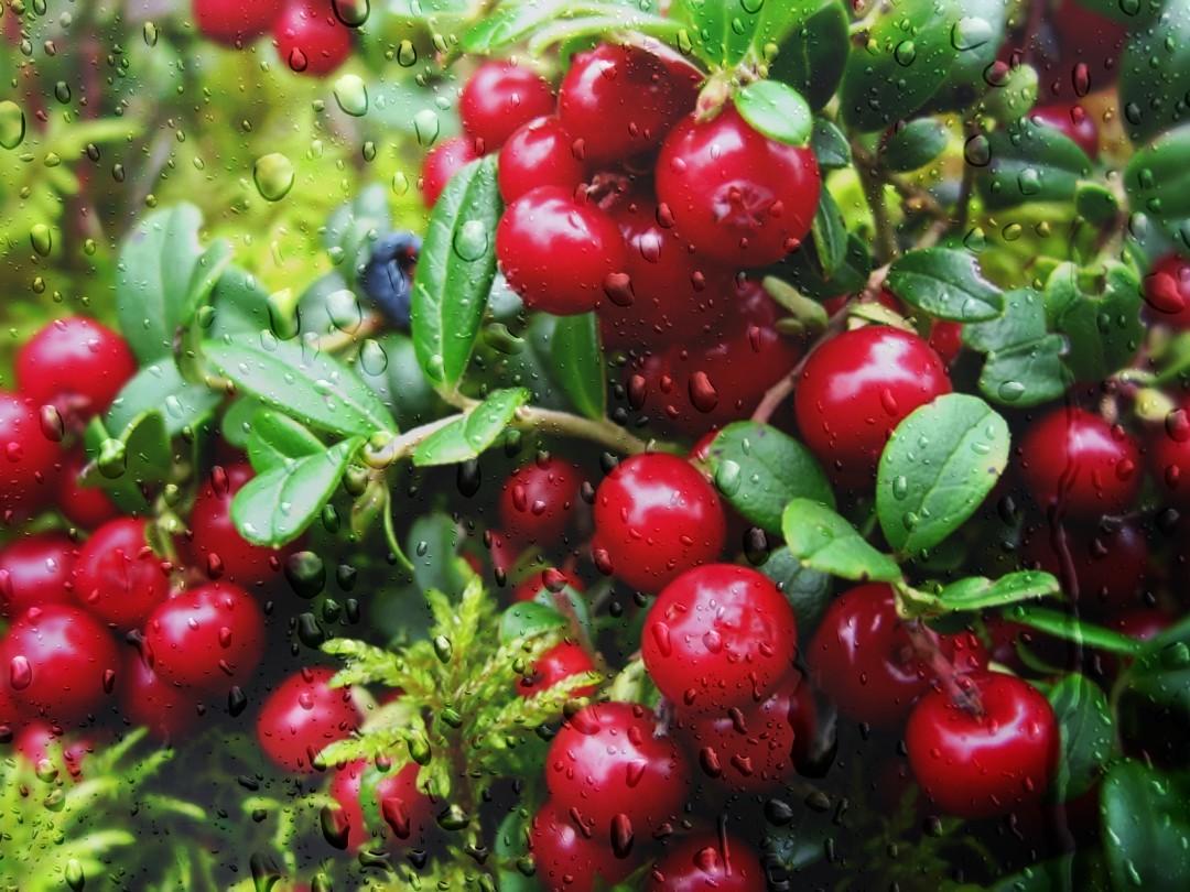 как выглядят ягоды клюквы