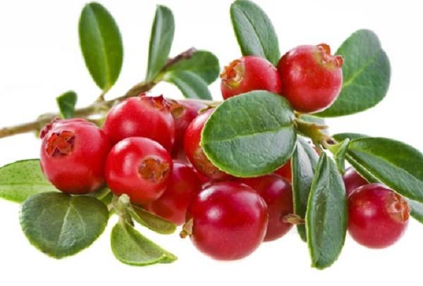 спелые ягоды клюквы