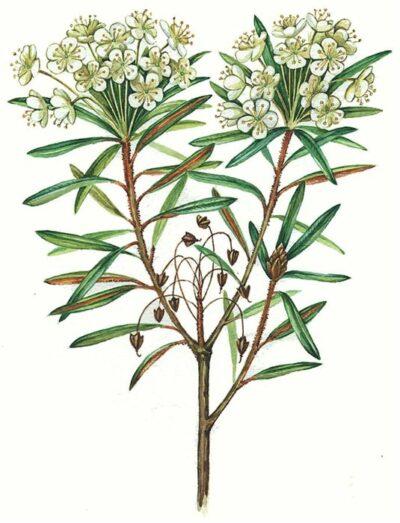 растение багульник