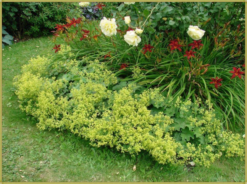 манжетка в саду