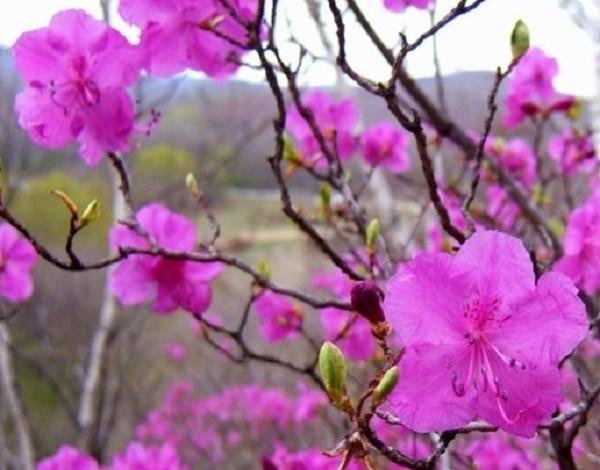 цветки багульника
