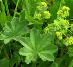 лекарственное растение манжетка