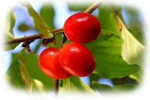 плоды кизила обыкновенного