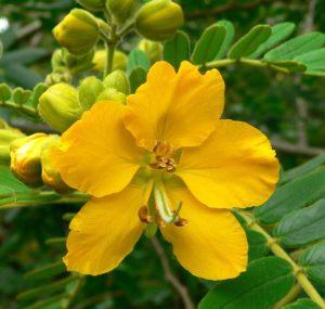 цветок кассии