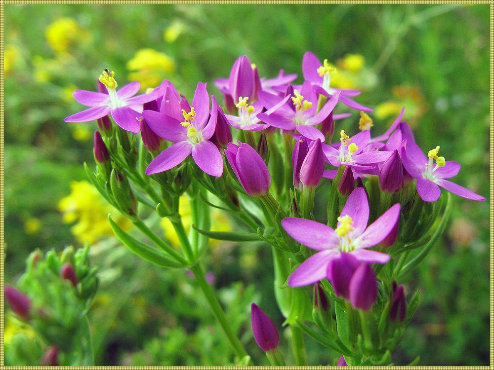цветок золототысячника