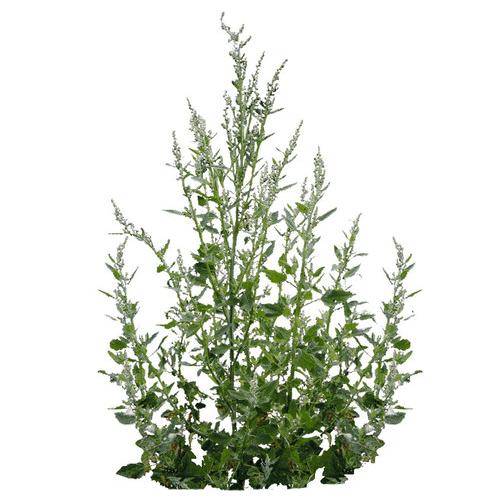 растение лебеда раскидистая