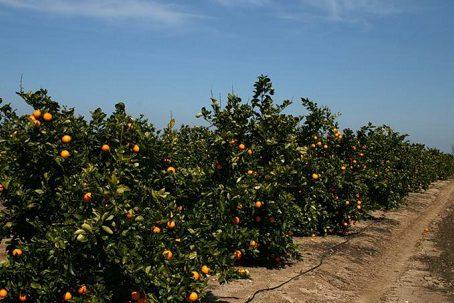 апельсиновая роща