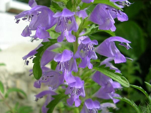 фото цветков змееголовника