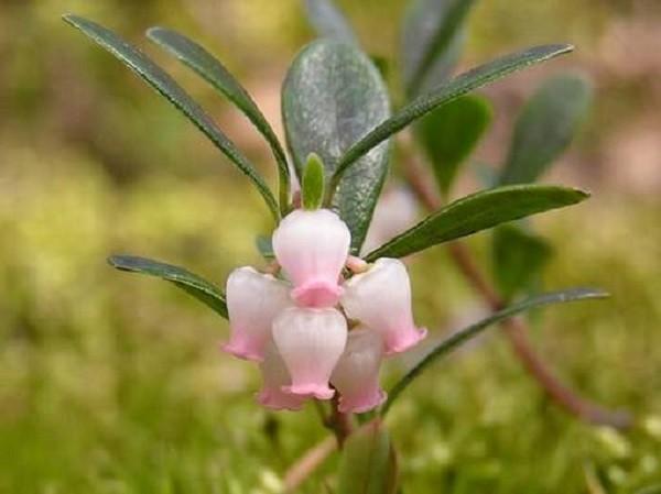 цветок толокнянки