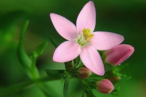 розовый цветок золототысячника
