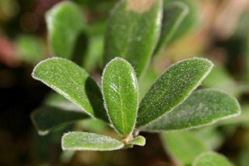 лист толокнянки обыкновенной