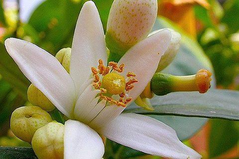 цветок дерева апельсин