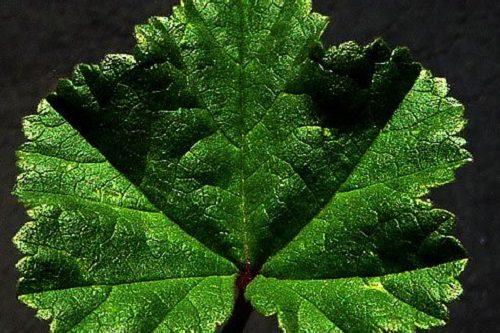 лист мальвы лесной