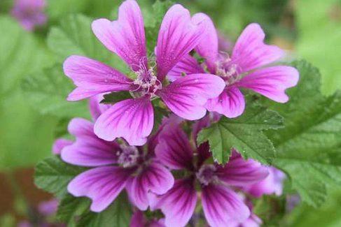 цветок мальвы лесной