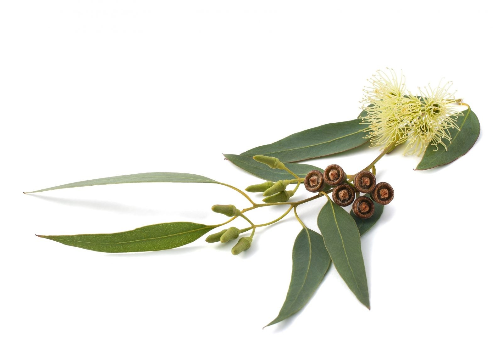 лист эвкалипта обыкновенного