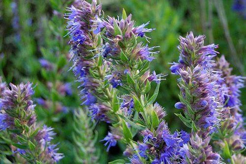 трава иссопа лекарственного