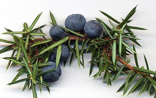 плоды растения можжевельник обыкновенный