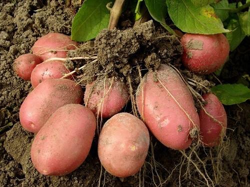 сбор клубней картофеля