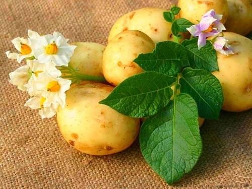 клубни растения картофель