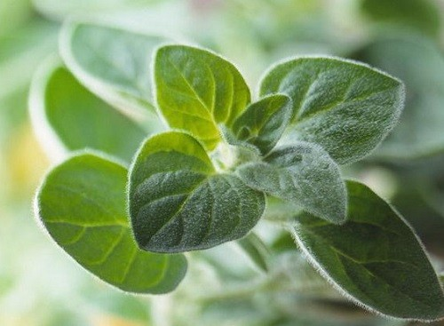 листья майорана