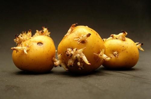 полезные свойства проростков картофеля