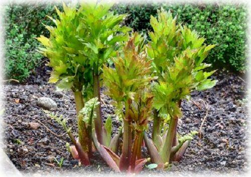 трава растения любисток