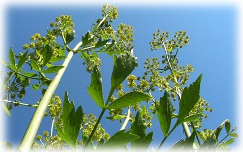 растение любисток лекарственный