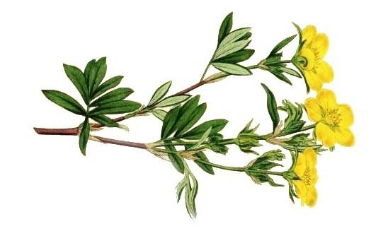 трава курильский чай