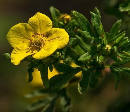 цветок курильского чая
