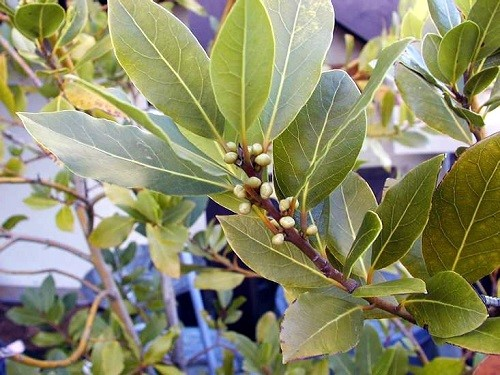 цветущее дерево лавровый лист
