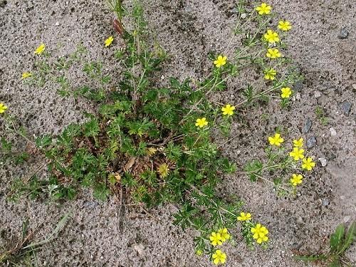 растение серебристая лапчатка