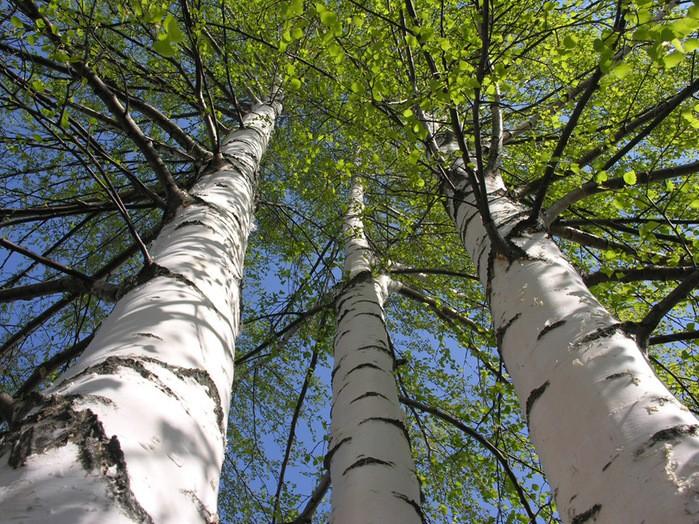 дерево березы повислой