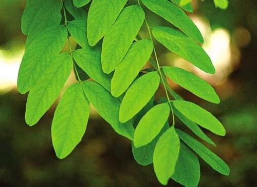листья акации белой