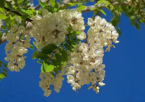 цветущая акация белая