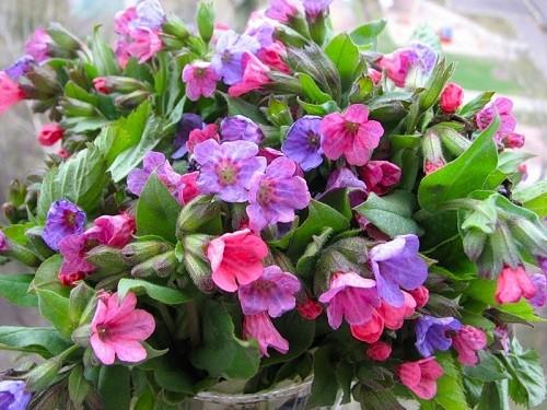 цветы медуницы лекарственной