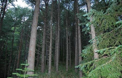 дерево кедр сибирский