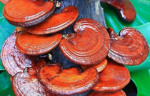гриб рейши на дереве