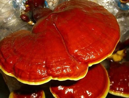 лекарственный гриб рейши
