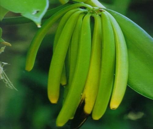 недозрелые стручки ванили