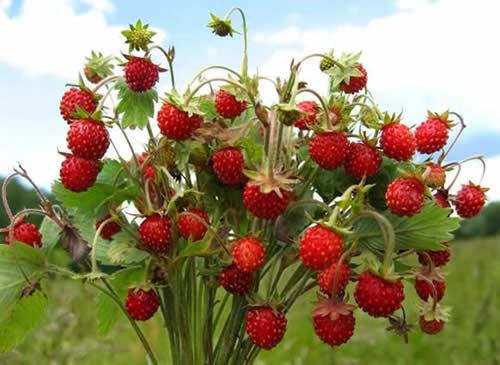 ягоды земляники растут