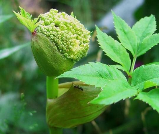 нераспустившийся цветок дягиля