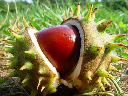 плод конского каштана